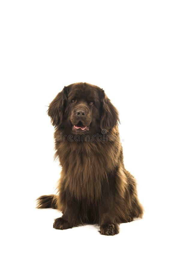Cane marrone di seduta di Terranova che esamina la macchina fotografica isolata sopra immagini stock libere da diritti