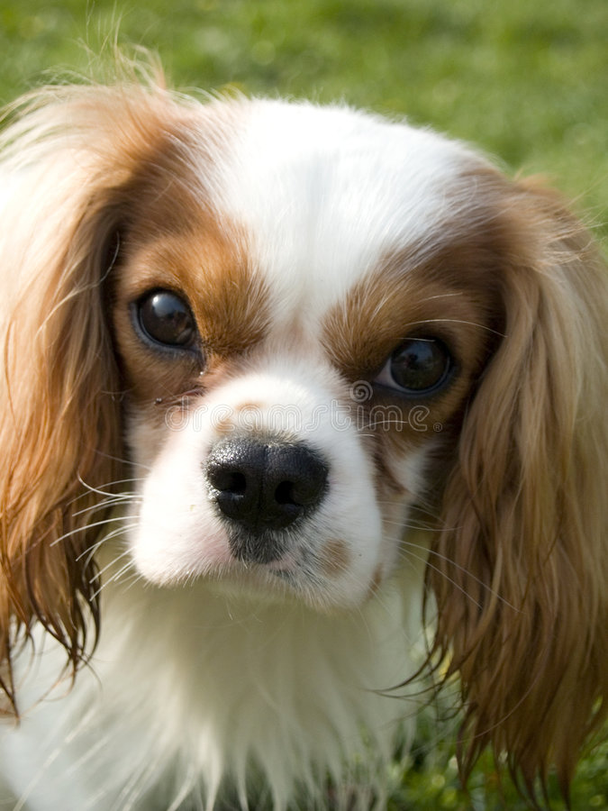 Cane marrone e bianco sveglio immagini stock libere da diritti