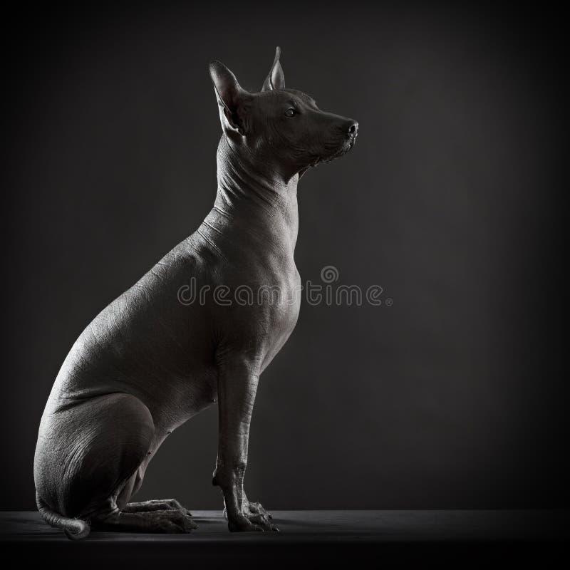 Cane messicano del xoloitzcuintle immagini stock libere da diritti
