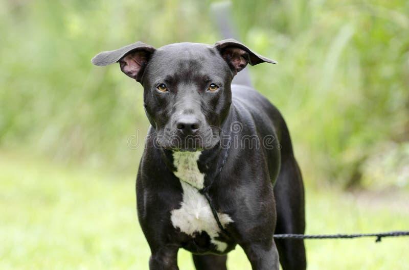 Cane misto in bianco e nero della razza di Pitbull fotografie stock