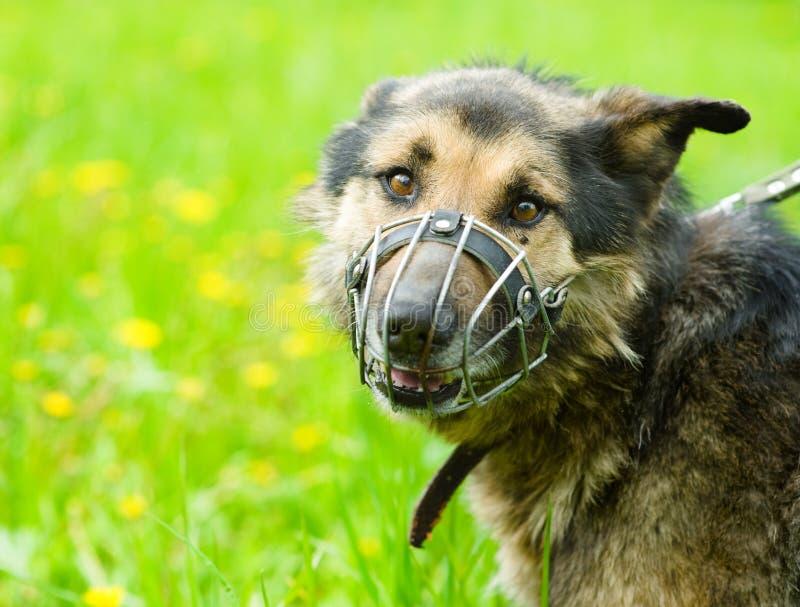 Cane misto della razza che indossa una museruola immagini stock libere da diritti