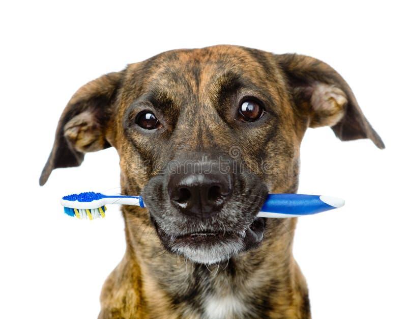 Cane misto della razza con uno spazzolino da denti Isolato su priorità bassa bianca fotografie stock