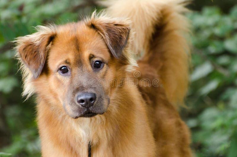 Cane misto della razza di golden retriever fotografie stock libere da diritti