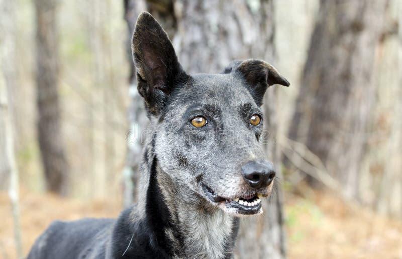 Cane misto della razza di Merle Greyhound immagini stock libere da diritti