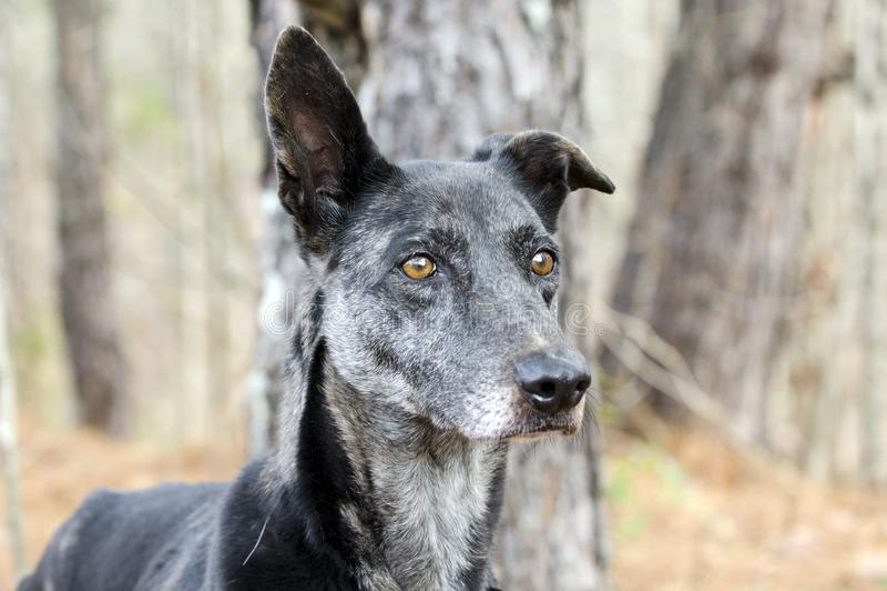 Cane misto della razza di Merle Greyhound fotografia stock libera da diritti