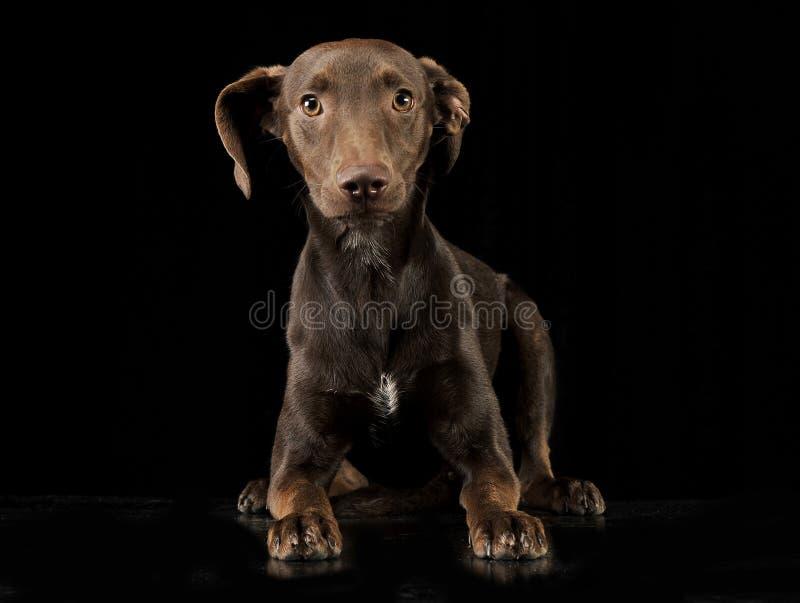 Cane misto di marrone della razza delle orecchie divertenti che si trova nel backgroun nero dello studio immagini stock