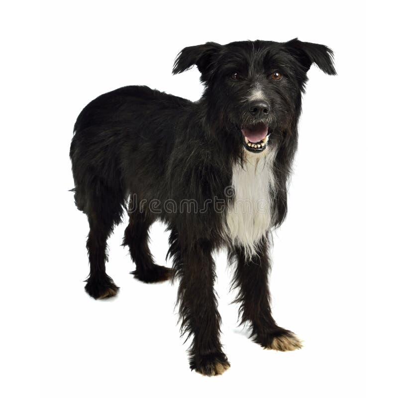 Cane mixed Shaggy della razza fotografia stock libera da diritti