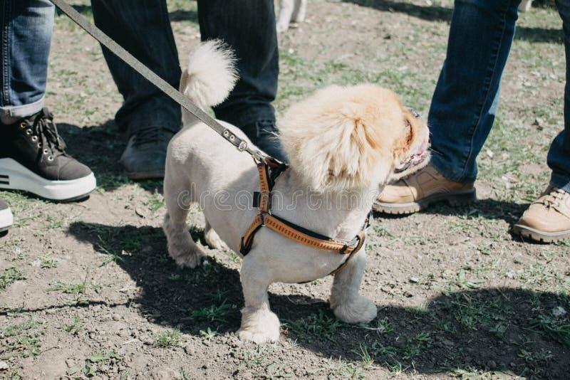 Cane nel calore di estate Marrone sveglio e divertente che governa cane pekingese nel fondo dell'erba verde Cane con la passeggia fotografia stock