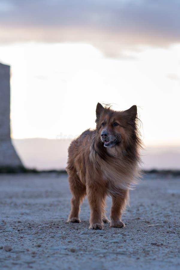 Cane nel tramonto in Santa Pola, Alicante, Spagna fotografia stock libera da diritti