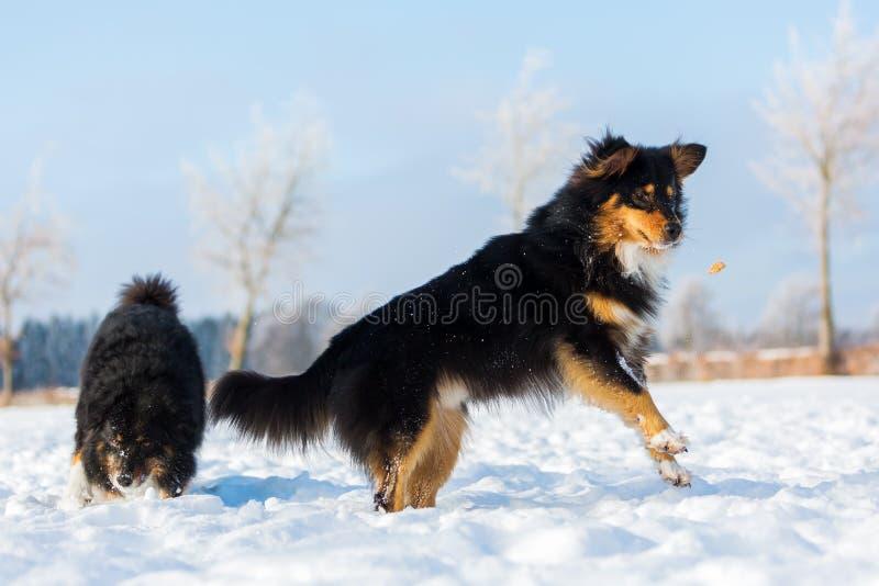Cane nella neve che salta per un ossequio immagine stock