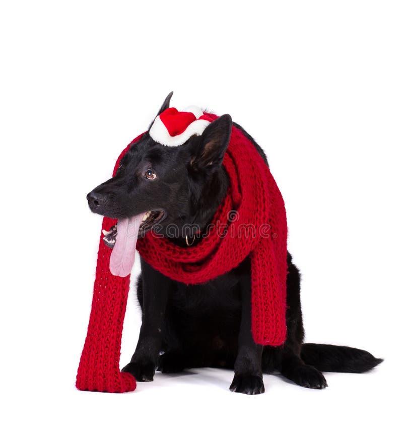 Cane nero in abbigliamento di Santa fotografia stock
