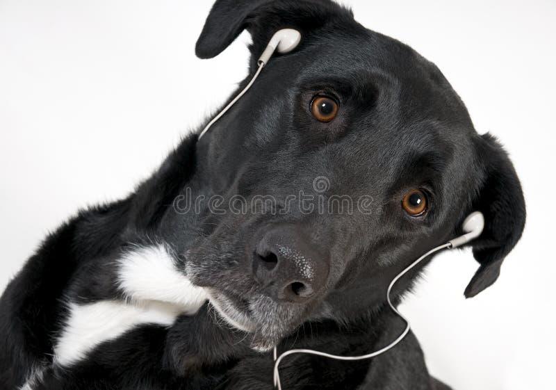 Cane nero bello con la cuffia avricolare che ascolta la musica fotografia stock