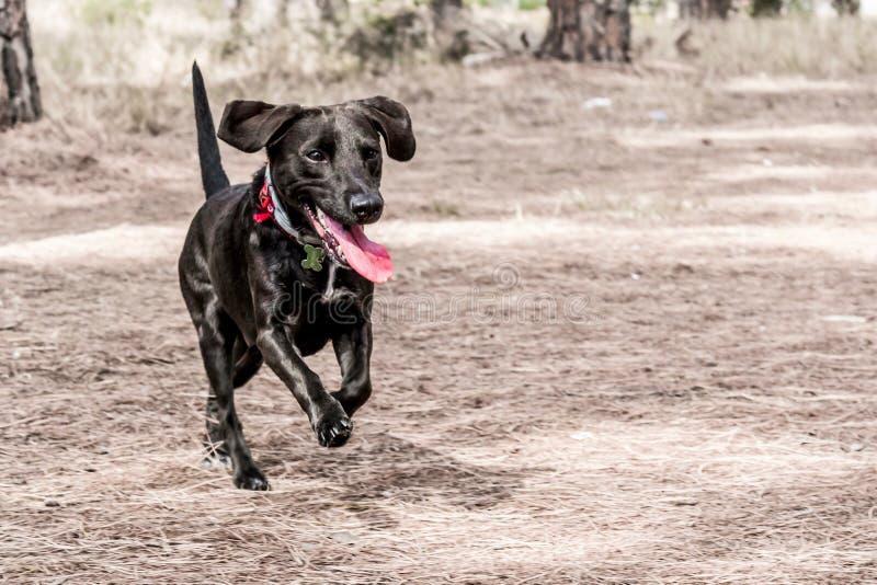 Cane nero che corre all'aperto fotografia stock libera da diritti