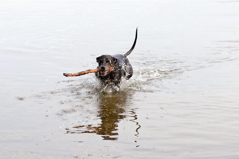 Cane nero che recupera bastone in acqua immagine stock