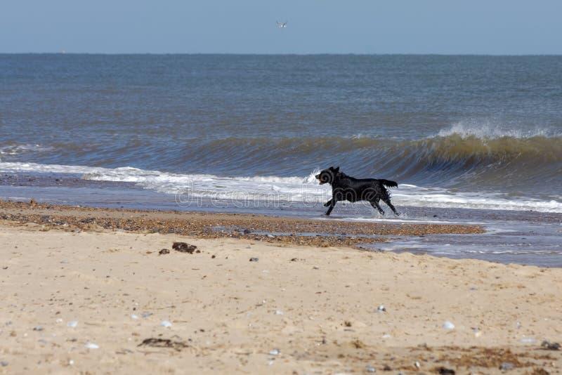 Cane nero con un funzionamento rosso della palla lungo la spiaggia a Winterton-O fotografia stock libera da diritti
