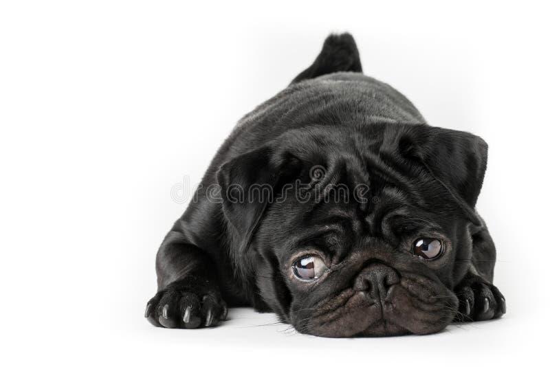 Cane nero del carlino con gli occhi di morbidezza isolati immagine stock libera da diritti