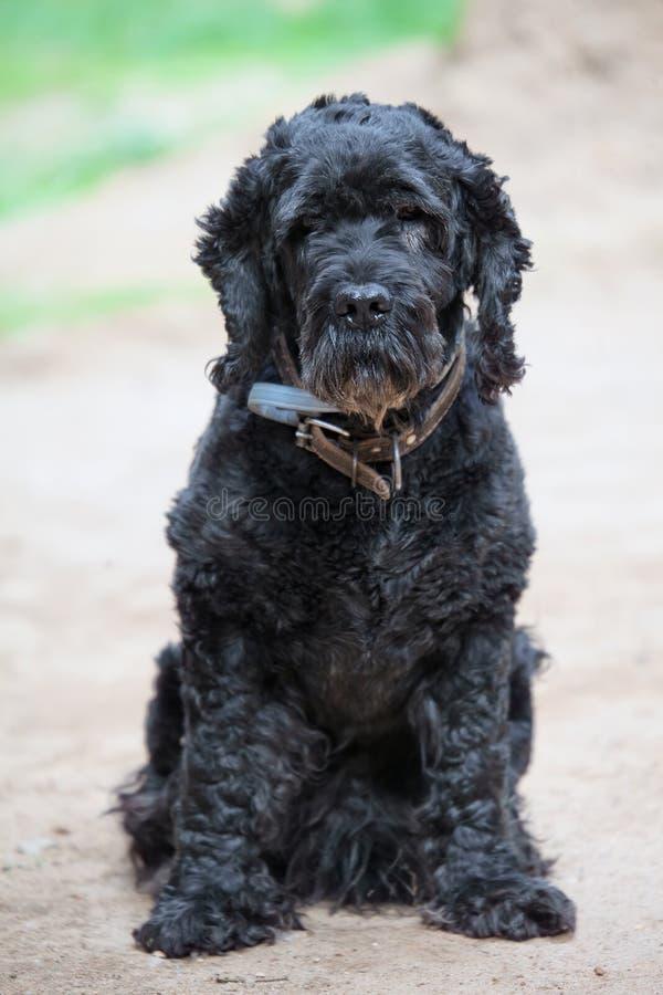 Cane nero del terrier Ritratto immagine stock