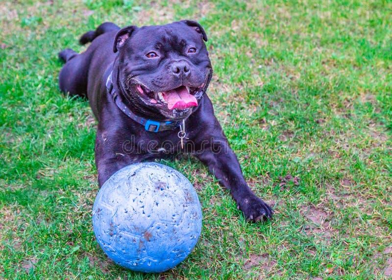 Cane nero di Staffordshire bull terrier che si trova sull'erba esterna, ansimante e sorridente dopo il gioco con la sua palla di  immagine stock