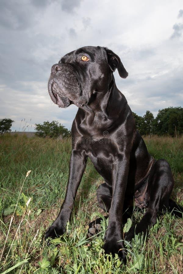 Cane nero Sheeny di corso della canna nel prato fotografia stock
