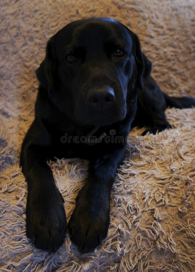 Cane nero su un sofà fotografia stock libera da diritti