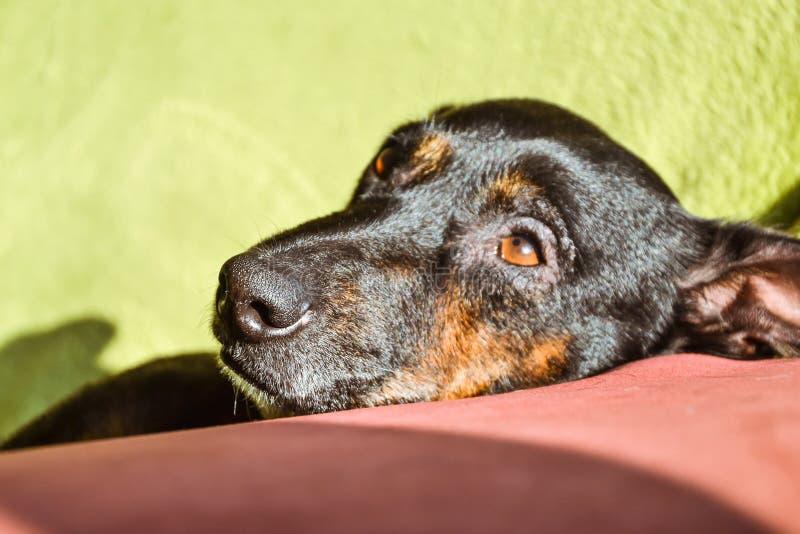 Cane nero - cane triste di salvataggio che aspetta il suo proprietario fotografia stock