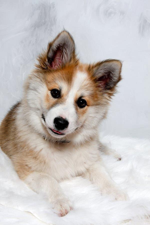 Cane norvegese del lundhund fotografia stock libera da diritti