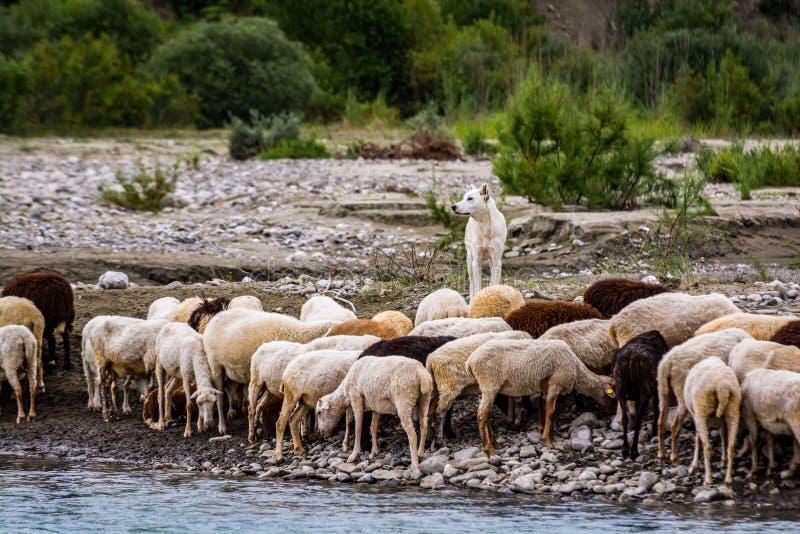 Cane pastorale con orecchi ritagliati con pecore vicino al fiume immagine stock
