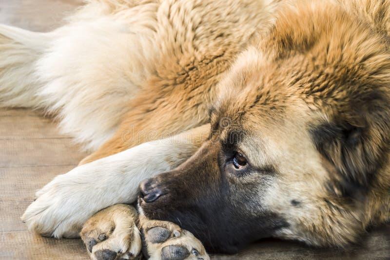 Cane pastore caucasico del cane due anni fotografie stock libere da diritti