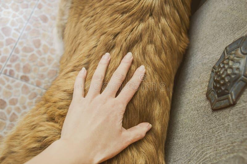 Cane pastore caucasico del cane due anni immagini stock