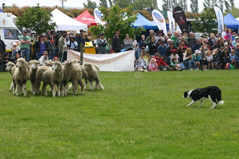 Cane pastore che riunisce una moltitudine di pecore sulla concorrenza immagini stock