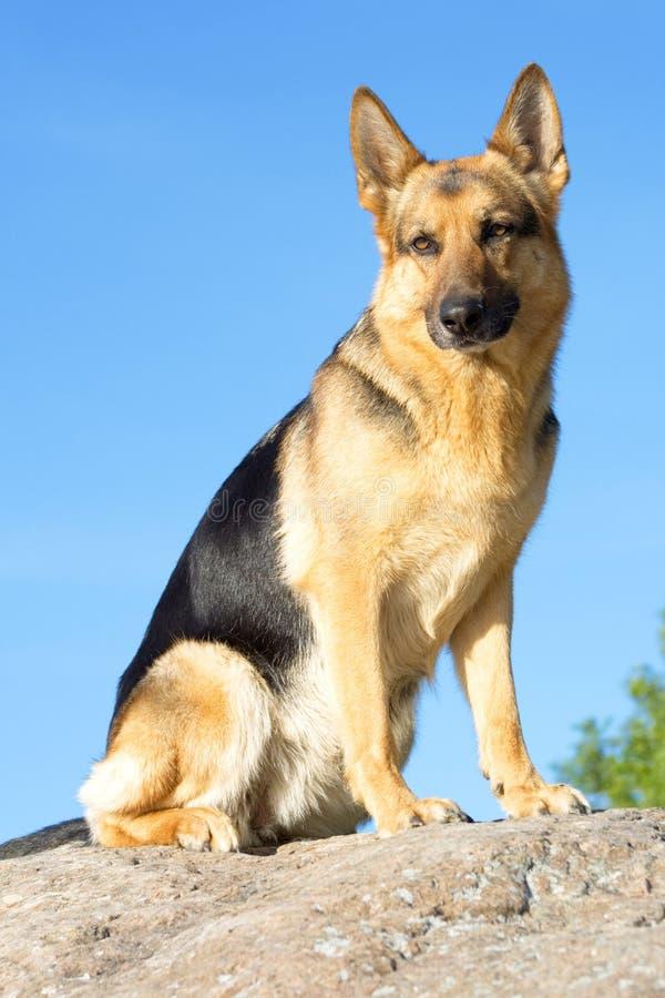 Cane pastore della Germania fotografie stock libere da diritti