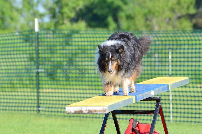 Cane pastore di Shetland (Sheltie) alla prova di agilità del cane fotografia stock