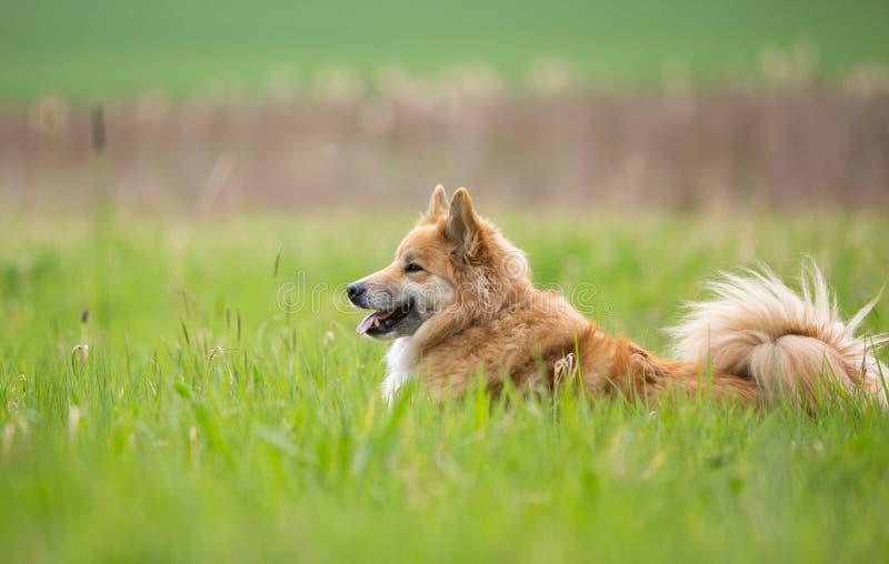 Cane pastore nel campo fotografie stock