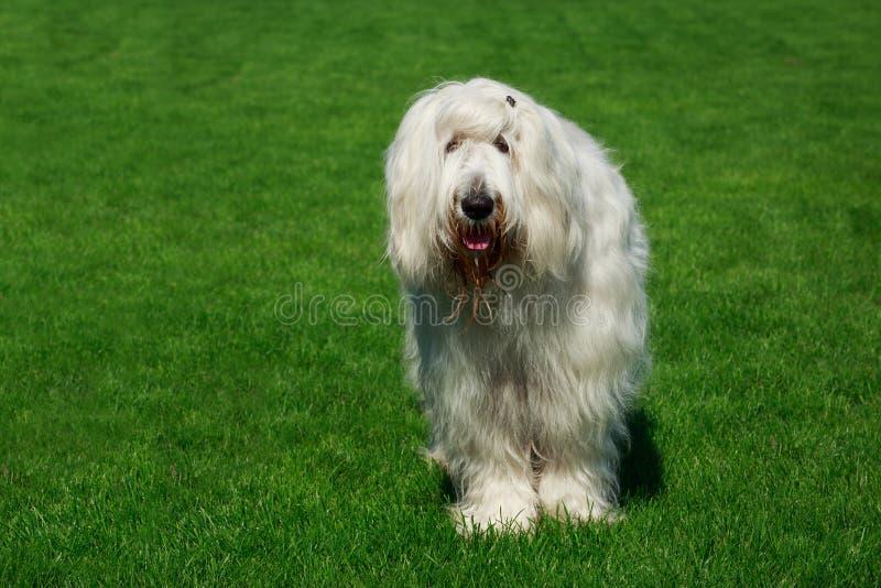 Cane pastore russo del sud della razza del cane fotografia stock