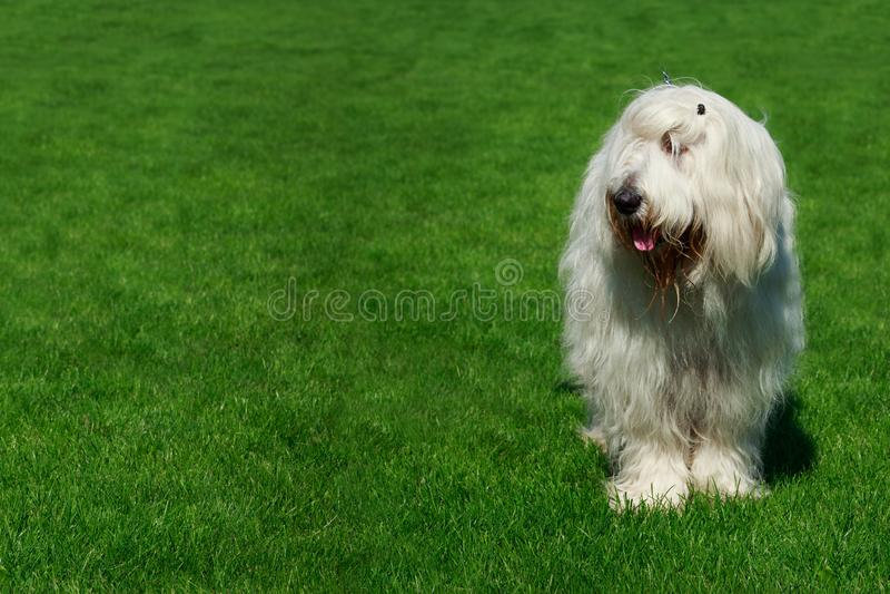 Cane pastore russo del sud della razza del cane immagine stock libera da diritti