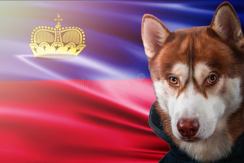 Cane patriottico fiero davanti alla bandiera del Liechtenstein Husky siberiano del ritratto in maglietta felpata nei raggi del so fotografia stock libera da diritti