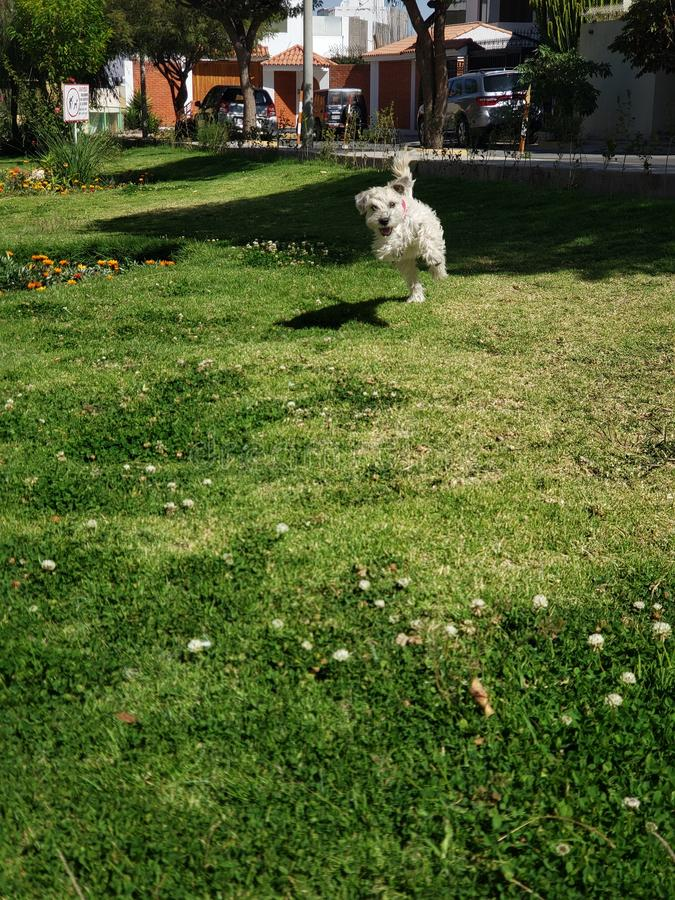 cane piccolo che funziona immagini stock libere da diritti