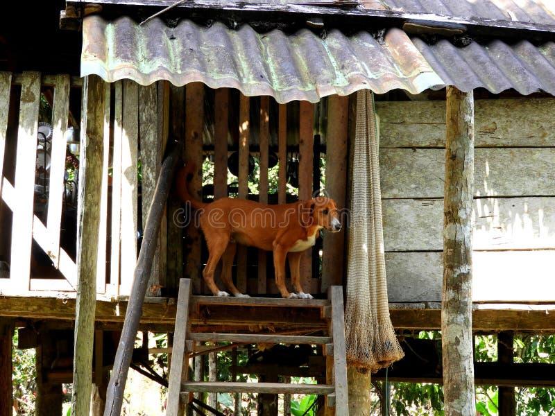 Cane in piedi accanto a una casa nella giungla di Tena, Ecuador immagine stock