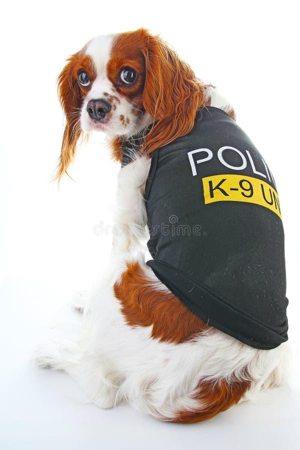 Cane poliziotto K9 foto sprezzante sveglia dell'animale domestico dello spaniel di re charles Cane poliziotto su fondo bianco fotografia stock