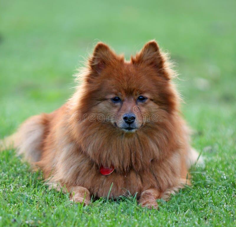 cane pomeranian fotografia stock libera da diritti