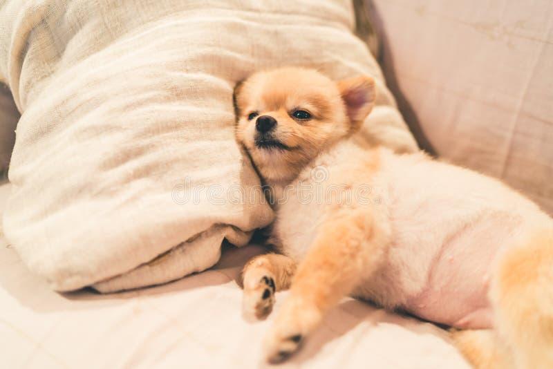 Cane pomeranian sveglio che dorme sul cuscino sul letto, con lo spazio della copia fotografia stock
