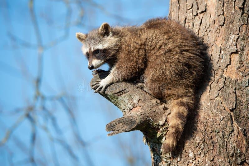 Cane procione che si siede su su su un albero fotografia stock libera da diritti
