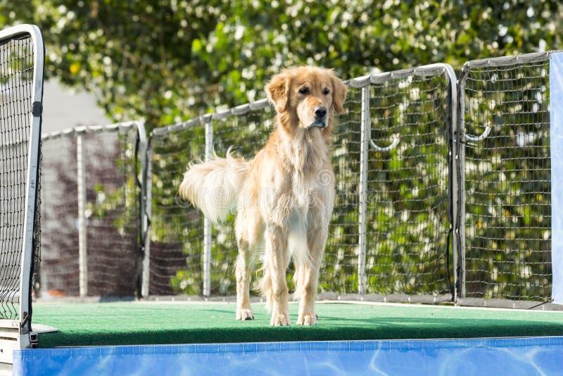 Cane pronto a saltare nello stagno fotografie stock libere da diritti