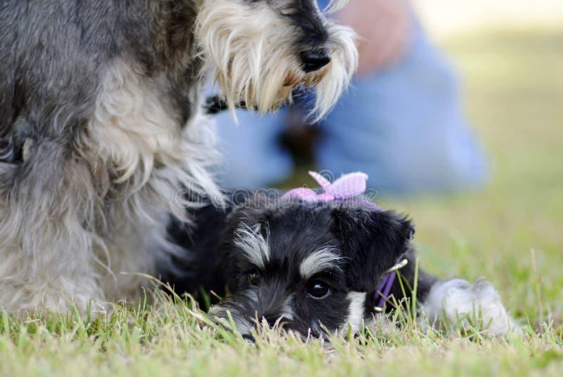 Cane protettivo dello schnauzer della madre che custodice sopra il cucciolo del bambino immagini stock