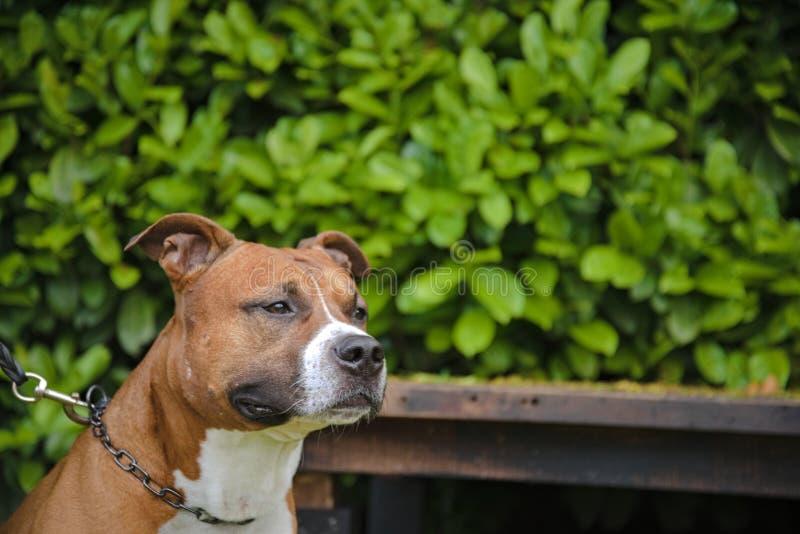 Cane puro della razza di Amstaff Staffordshire fotografia stock libera da diritti