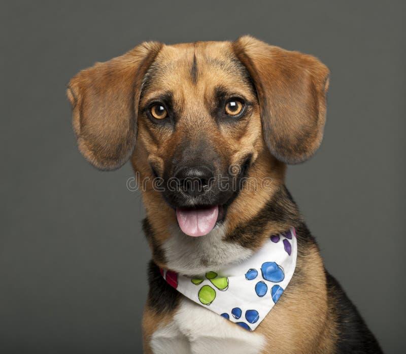 Cane, razza con un cane da lepre, 2 anni della traversa fotografia stock