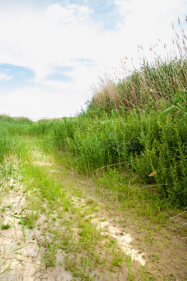 Cane, reed, rush, thatch, frail. Reeds growing along the road. Kazakhstan. Altyn Emel National Park royalty free stock photos