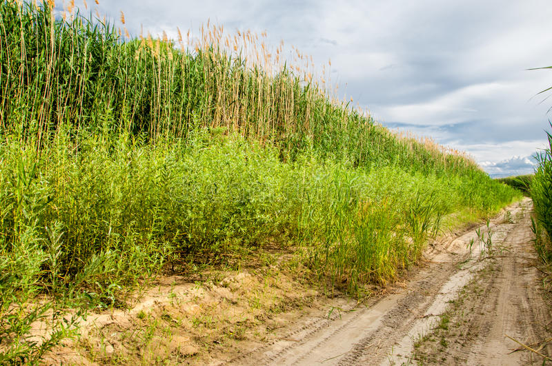 Cane, reed, rush, thatch, frail. Reeds growing along the road. Kazakhstan. Altyn Emel National Park royalty free stock photography