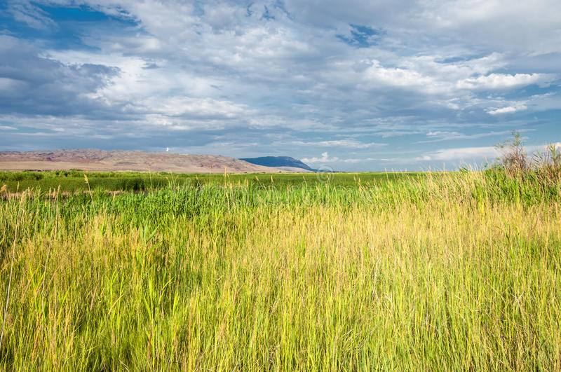Cane, reed, rush, thatch, frail. Reeds growing along the road. Kazakhstan. Altyn Emel National Park royalty free stock images