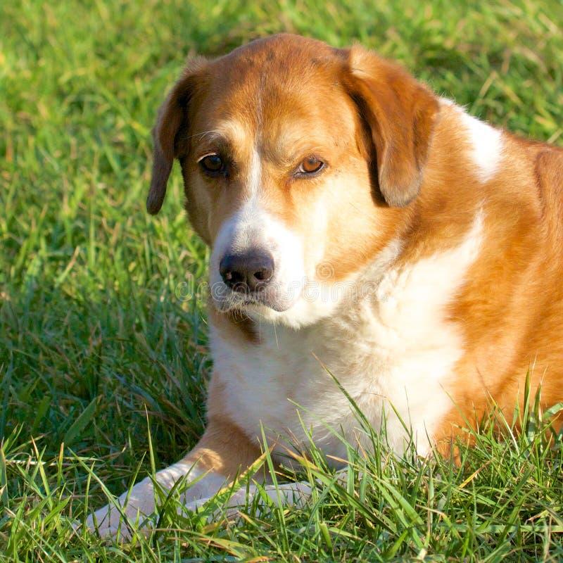 Cane rilassato nell'erba immagini stock